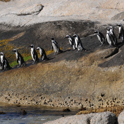 The march of the Penguin